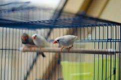 Finch ptak w klatce obraz stock