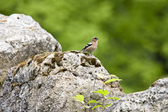 Finch on a rock Stock Photos