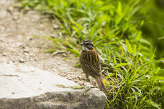 A Finch on a rock Stock Images