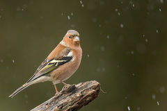 Finch Stock Image