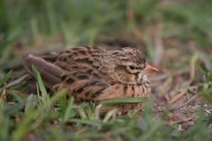 Finch Sitting. Finch looking tired resting on the ground Stock Images