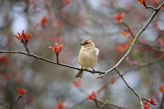 Finch sitting on a branch of apple. stock photography