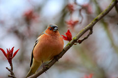 Finch sitting on a branch of apple. Royalty Free Stock Photos