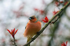 Finch sitting on a branch of apple. Royalty Free Stock Photography
