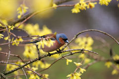 Finch  sitting on a branch forsythia. Stock Photography