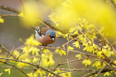Finch  sitting on a branch forsythia. Royalty Free Stock Images