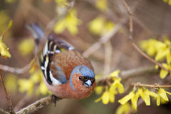 Finch sitting on a branch forsythia. Royalty Free Stock Image