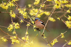 Finch  sitting on a branch forsythia. Royalty Free Stock Photos