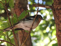 A finch sitting on a branch Royalty Free Stock Images