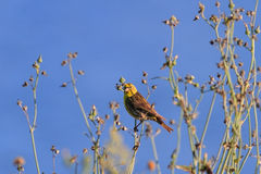Finch. Small finch perched on grass. North of Portugal Stock Images