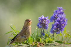 Finch song Stock Photo