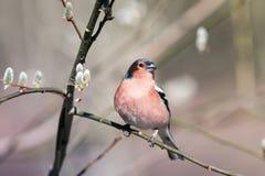 Finch Songbird κάθεται σε έναν κλάδο ιτιών με το ηλιόλουστο πάρκο οφθαλμών την άνοιξη στοκ φωτογραφία με δικαίωμα ελεύθερης χρήσης
