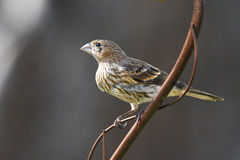 Finch or sparrow. Profile of a sparrow sitting on a metal plant holder Royalty Free Stock Photo