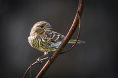 Finch or sparrow. Sparrow sitting on a metal plant holder Royalty Free Stock Photography