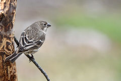 Finch or sparrow. Sparrow sitting on a tree branch with a pastel colored background Royalty Free Stock Photography