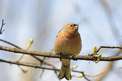 Finch standing on branch Royalty Free Stock Images