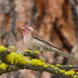 Finch with tilted head Royalty Free Stock Photography