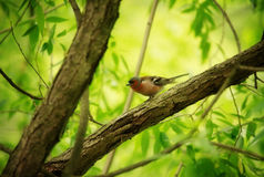 Finch on Tree Royalty Free Stock Images