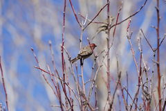 A finch in a tree. Royalty Free Stock Photos