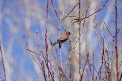 Finch w drzewie zdjęcia royalty free
