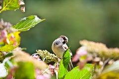 Finch w Hydreangeas fotografia royalty free