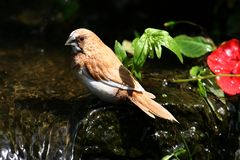 Finch at a waterfall. Stock Image