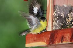 Finch with wings spread out. This is a Lesser Gold Finch with his wings getting ready to take off.  I caught him just in time Royalty Free Stock Images