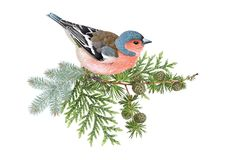 Finch winter composition. Vector realistic composition with finch bird on conifer branches isolated on white background. Winter design element for christmas, new Stock Photo
