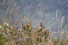 Finches στις χλόες σε Filey clifftops στοκ φωτογραφία