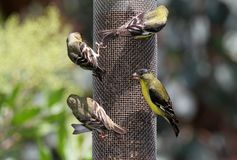 Finches Stock Images