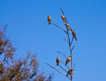 Finches Royalty Free Stock Photos