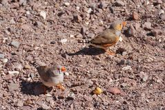 Finches in the Australian desert Royalty Free Stock Photos