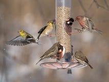 Finches bij voeder Stock Foto's