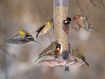 Finches at feeder Stock Photos