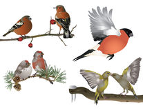 Finches. It is illustration of wild birds in nature Stock Image