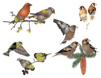 Finches. It is illustration of wild birds in nature Royalty Free Stock Image