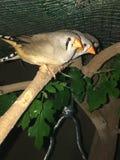 Finches przy nocą zdjęcia royalty free