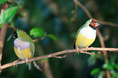 Finches sitting on a branch Royalty Free Stock Image