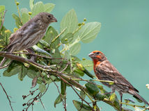 Finches Royalty Free Stock Photography