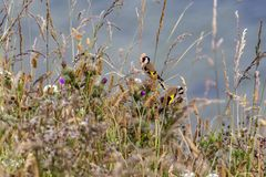 Finches w trawach na Filey clifftops obrazy royalty free