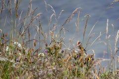 Finches w trawach na Filey clifftops zdjęcia stock