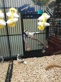 Finches w zwierzę domowe sklepu Birdcage zdjęcia royalty free