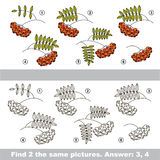 Find the couple of Ashberries. The design difference. Vector visual game for children. Task and answer. Find two similar Branches of Ashberries Royalty Free Stock Photo