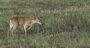 Find the fawn in the field. Royalty Free Stock Photography