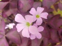 Beautiful Flowers in Sri Lanka. royalty free stock photos