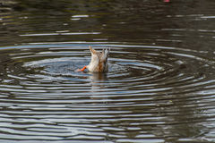 Find some fish for live. Wildlife in central park new york city Royalty Free Stock Images