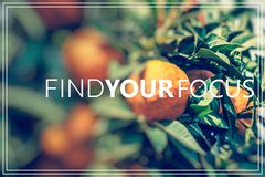 Find Your Focus.Branch orange tree fruits green leaves. Stock Image