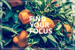 Find Your Focus.Branch orange tree fruits green leaves. Stock Photos