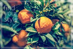 Find your style.Branch orange tree fruits green leaves. Royalty Free Stock Photo