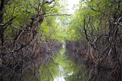 Find your way through the forest. The forests of the everglades are a natural wonder. The canals of water create a majestic scene when you ride them through a Royalty Free Stock Images